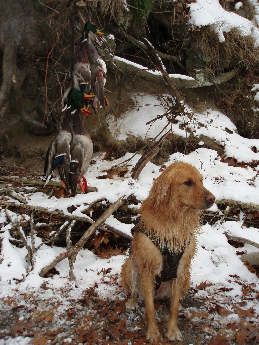 Duso Golden Retrievers,breeder of hunting and companion ...